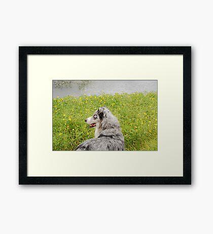 Australian Shepherd Gazes at Pond Framed Print