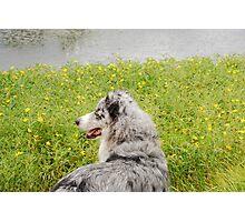 Australian Shepherd Gazes at Pond Photographic Print
