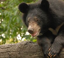 Asian Black Bear by Peter Ellen