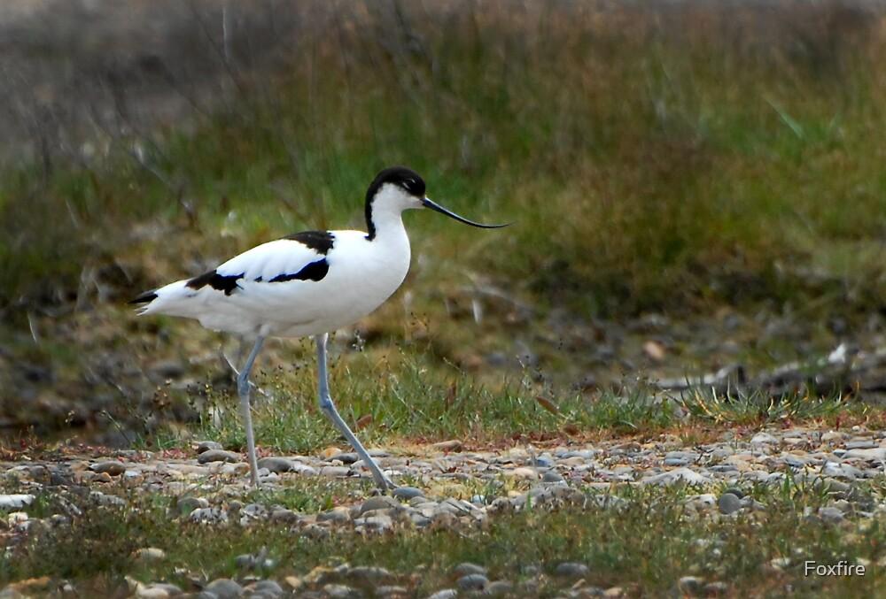 AVOCET - (Recurvirostra avosetta) by ©FoxfireGallery / FloorOne Photography