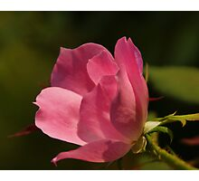 Pink Rose Blossom Bokeh Photographic Print