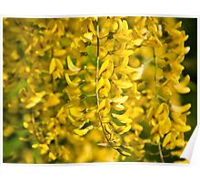 Yellow blossoms Poster