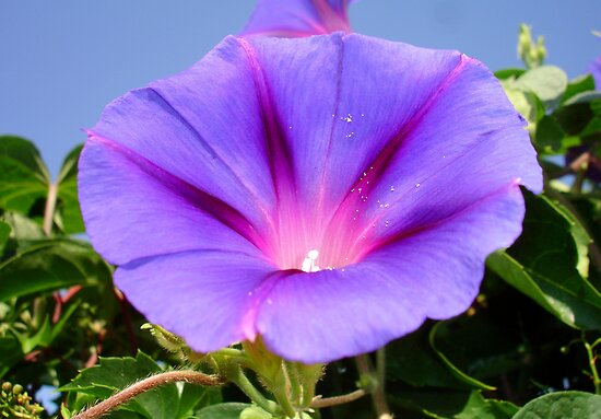 Purple Colored Morning Glory Flower Garden Background  by taiche