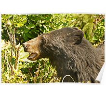 Black Bear - Hyder AK Poster