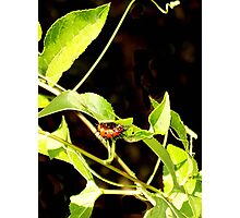 A Caterpillar on a Passion Vine Photographic Print