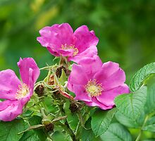 Wild Rose or Rugosa Rose by Mike Oxley