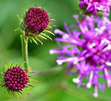 Western Ironweed Buds by ©Dawne M. Dunton