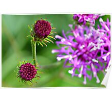 Western Ironweed Buds Poster