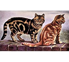 Tabby Cats Vintage Drawing Photographic Print