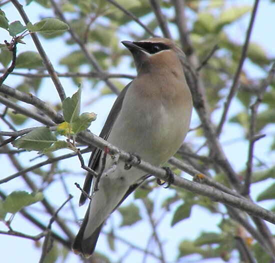 Cedar Waxwing by Joe Powell