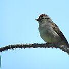 Hammond's Flycatcher by Joe Powell
