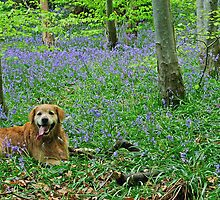 Bailey in the bluebells by philwells