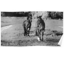 Race horse and Frisian horse on the meadow Poster