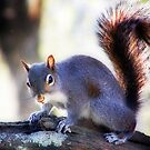 """Eastern Gray Squirrel, with Sun At His Back"" by Melinda Stewart Page"