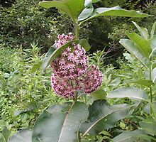 Common Milk Weed Blossom by linmarie