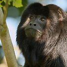Black Howler Monkey by Franco De Luca Calce