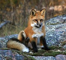 """ Red Fox Pup "" by fortner"