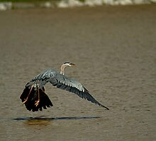 Great Blue Herron in Flight by Expressions &  Reflections