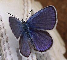 Karner Blue Butterfly by jenndes