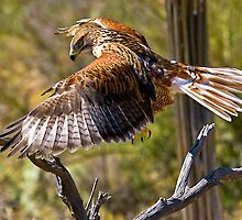 Ferruginous Hawk In Flight by Albert Crawford