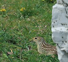 13 Lined Ground Squirrel by Chris Coates