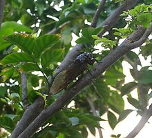Screaming Cicada insect in the tree by exaltedshrimp