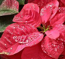 Christmas Poinsettia Flowers in the Morning by exaltedshrimp