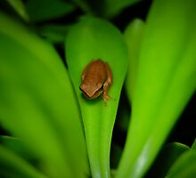 Little Brown Frog by Destrier