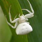 White spider by Duane Hurn