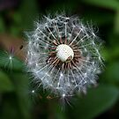 Dandelion and Spider in hiding, by AnnDixon