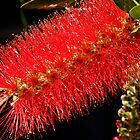 Bottle Brush by MiImages