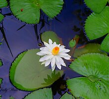 Water Lily by Judy Gayle Waller
