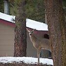Oh Deer by Borror