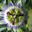 Passieflora - Passionflower by Hans Bax
