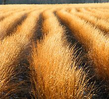 GRASSES,CADES COVE by Chuck Wickham
