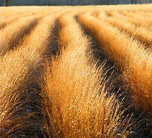 GRASSES,CADES COVE by Chuck Wickham