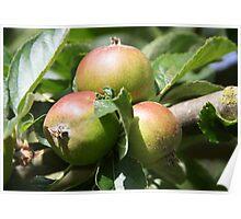 Allotment Apples Poster