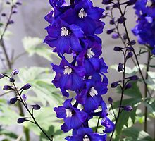 Blue Delphiniums by stellelove