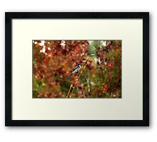 Blue Bird Enjoying Fall Color Framed Print