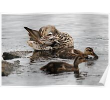 Mrs Not Quite Mallard and Family Poster