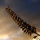 The Last Of The Evening Sun on a Grevillea by Eve Parry