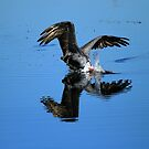Brown Pelican Dives For Fish by DARRIN ALDRIDGE