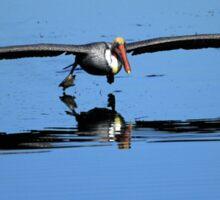Brown Pelican Skims The Water Sticker