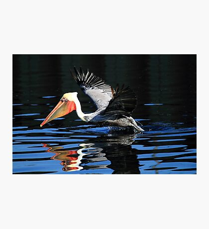 Brown Pelican Water Take Off Photographic Print