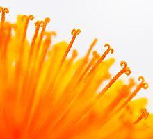 Dandelion Deluxe by steffen