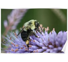 Bee on perennial Poster