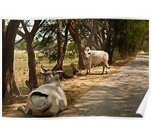 Burmese Cows Poster