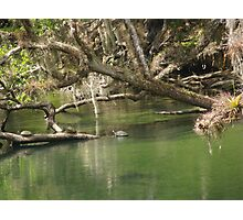 Turtles at Blue Springs Photographic Print