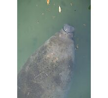 Manatee at Blue Springs Photographic Print