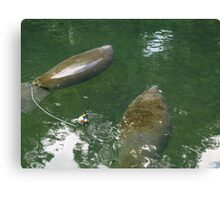Manatees in Blue Springs Canvas Print